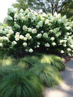 Limelight Hydrangea and SilkTassels Morrow's Sedge - would love some sedge beneath the pines. $12 for the sedge from plant delights.