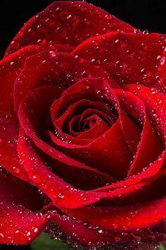 Red Rose Flower, Beautiful Rose Flowers, Red Flowers, Pink Roses, Happy Flowers, Beautiful Red Roses Images, Vintage Flowers, Flower Phone Wallpaper, Flower Wallpaper
