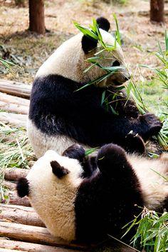 Giant Panda Reserve, Sichuan, China
