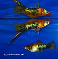 Swordtail Fish (Xiphophorus helleri) LOVE THESE FISH!!!