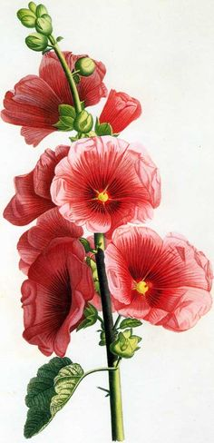 Picturing Plants and Flowers: Jean-Louis Prévost: Hollyhock