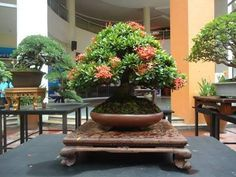Bonsai - Robust, healthy and wonderful.