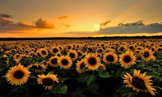 2048x1240 free desktop wallpaper downloads sunflower