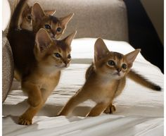 Abyssinian kittens! I want one!