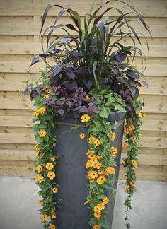 Lovely tall, slender container Plants: Pennisetum glaucum 'Purpple Majesty' (ornamental millet), Thunbergia 'Susie Orange with Eye', Iresine 'Purple Lady', Alternanthera 'Purple Knight'. Container Flowers, Flower Planters, Flower Pots, Flower Baskets, Fall Containers, Large Containers, Succulent Containers, Outdoor Planters, Garden Planters