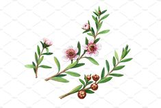 Color pencil drawing of manuka sprigs with leaves, flowers, buds and fruits isolated on white. Flower Tattoo Drawings, Pencil Drawings, Pencil Illustration, Graphic Illustration, Australian Wildflowers, Sister Tattoos, Leaf Flowers, Watercolours, Banner Design