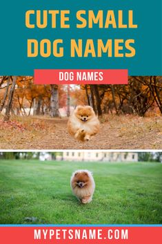 Toy dogs are undoubtedly the epitome of 'cute', so we've made sure to give you the cutest ideas for cute small dog names we could find! Tiny, adorable puppies are just as cute as fictional characters like fairies, pixies and elves, so included a few of those too! Take a look!  #smalldognames #cutesmalldognames #toydognames Small Dog Names, Cute Small Dogs, Cute Dogs, Cutest Dog Names, Cute Names For Dogs, Toy Dogs, Dog Toys, Teacup Puppies, Adorable Puppies