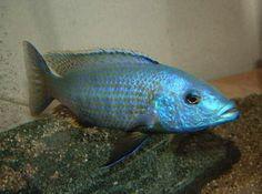 1 x Dimidochromis kiwinge 4cm  PRICE- 59 $