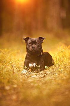 Se hvordan jeg jobber med blits utendørs når jeg fotograferer hunder.   Min første Live stream hvor jeg viser hvordan jeg jobber med lys for å ta bedre bilder av hund ute. Presentasjon av Godox AD200 og Magmod sitt blits tilbehør. Blandt annet MagBox.  #tips hundefoto #tips hundefotografering #magmod Staffordshire Bull Terrier, Family Dogs, Pitbulls, Studio, Fine Art, Manga, Animals, Animales, Pit Bulls