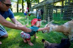 Toddler Pets Goat royalty-free stock photo