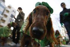St Puptricks Emerald Isles Three Dog Bakery Blog