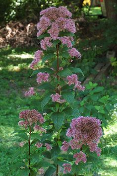 Joe Pye Weed (Eutrochium dubium 'Little Joe') is a compact cultivar of popular Joe Pye weed, 'Little Joe' blooms with pink billows of fragrant flowers that attract butterflies in summer. The perennial does best in full sun to part shade. Grows up to 4 feet high and 3 feet wide in Zones 3 to 9.