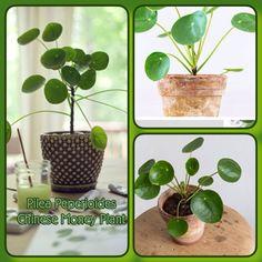 pilea peperomioides trop mignonne cette urticaceae avec ses feuilles rondes et vertes tout un. Black Bedroom Furniture Sets. Home Design Ideas