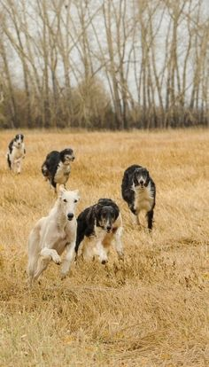 Five borzois running in the autumn field. #animals #dogs #borzoi