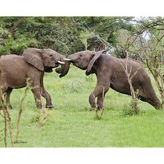Shop for Stewart Parr 'Young Tanzania Elephants Playing' Unframed Photo Print. All About Elephants, Elephants Playing, Save The Elephants, Animals And Pets, Baby Animals, Cute Animals, Wild Animals, Reptiles And Amphibians, Mammals