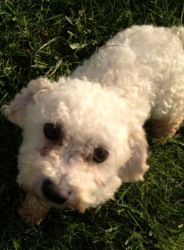 Jenny is an adoptable Poodle Dog in Owego, NY. Name: Jenny Age:4 years Weight: 10#  Adoption  Current foster location:  Owego, NY  As a Volunteer Rescue Organization - please allow us u...