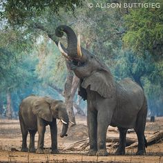 #Elephants in Mana Pools, Zimbabwe - the larger elephant is Big Vic,  thoughtfully bringing down some hard to reach branches for the smaller elephant.
