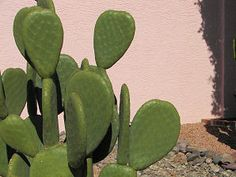 Indian Fig Cactus (Opuntia ficus-indica).  Large, thornless, and edible!