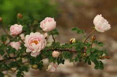 Roses, Garden, Plants, Garten, Pink, Rose, Lawn And Garden, Gardens, Plant