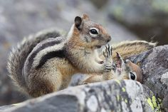 Golden-mantled Ground Squirrels  Yellowstone National Park, WY