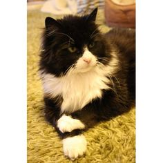 Tuxedo Cat with Crossed Paws. This cat looks just like my cat. I miss my cat. RIP Oreo