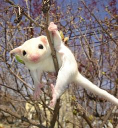 LEUCISTIC SUGAR GLIDER LEARNING TO CLIMB-Baby