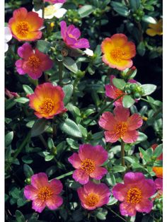 Moss rose Get detailed growing information on this plant and hundreds more in BHG's Plant Encyclopedia.