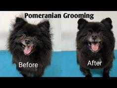 Pomeranian Grooming - YouTube