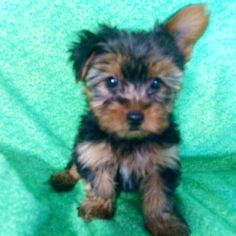 36 Best Yorkie Puppies For Sale Images On Pinterest Puppies For