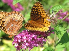 True to its name, butterfly bush - photo by Linda Cork Mariposa Butterfly, Butterfly Bush, What A Wonderful World, Shutterfly, Spiders, Wonders Of The World, Blessings, Cork, Bugs