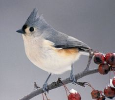 tufted titmouse images  Mom and I watched one of these bath in her birdbath in Prescott.  And he didn't want us close and let us know that!