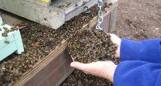 37 milioni di api trovate morte in Canada. Vicino agli alveari un campo di mais OGM