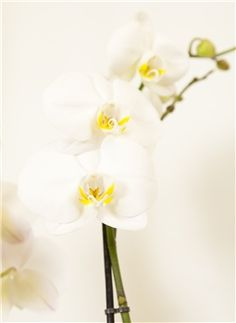 The 'Simply Stunning' phalaenopsis orchid plant