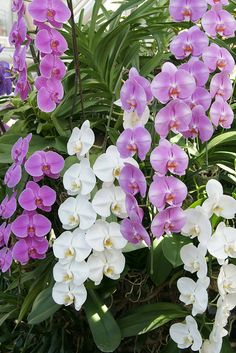 Moth Orchid - Phalaenopsis; by peaceful-jp-scenery