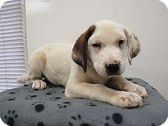 05/20/16-ROME, GA - HEART STICK FACITLITY - SUPER URGENT Rome, GA - Hound (Unknown Type)/Labrador Retriever Mix. Meet 16D-0638 (5/22), a puppy for adoption. http://www.adoptapet.com/pet/15588384-rome-georgia-hound-unknown-type-mix