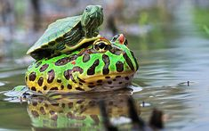A baby turtle hitches a ride on a bullfrog in one of a series of stunning shots captured by photographer Shi Khei Goh in the forests of Batam, Indonesia