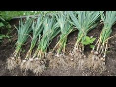 Grow Garlic, & How To Plant Garlic GF TV - YouTube