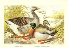 Antique 1871 Victorian Ornithology Print by printsandpastimes, £8.00