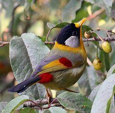 Beautiful colorful bird!                                Silver-eared mesia