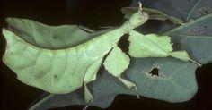 O inseto-folha também é mimético
