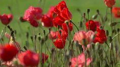 """pagewoman:  """" Poppies in a Summer Breeze  """""""