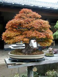 Japanese Maple Bonsai. . . My favorite tree. . . . someday I'll have one