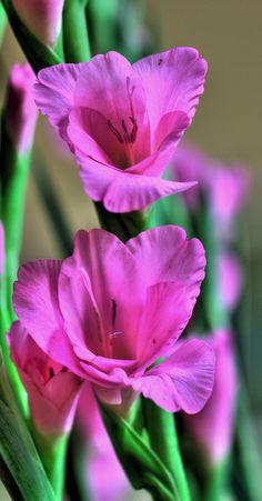 ~~2 gladiolus by Jonathon Much~~