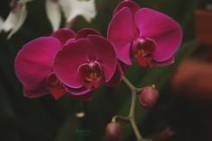 #Biltmore's garden staff provides a secret look at the estate's massive orchid collection featuring rare and historical varieties. www.biltmore.com