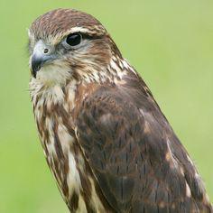 Merlin, by Whitfield Benson.