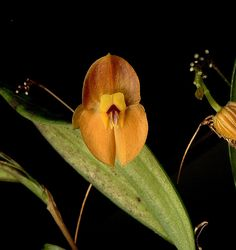 Lepanthes ophelma, by weissalberich, via Flickr