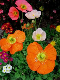Poppies and primroses by moonjazz on flickr