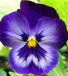 """Pansies are Tough!  You've probably heard of """"zone denial"""" - planting things that are marginally winter hardy in an area and hoping they make it through, by mul…"""