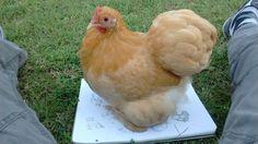 Chicken Sketches!!