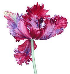 Elizabeth Hellman – The Society of Botanical Artists